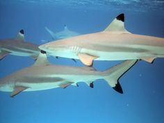 Black Tip Reef Shark Open Ocean Excursion (no cages), Nassau, Bahamas w/ Stuarts Cove. Very personal encounter where sharks were touching and swimming across / alongside me. Unbelievable and amazing.