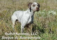 Breeder/ trainer/ owner extraordinaire! Braque Du Bourbonnais, Hunting Dogs, Mammals, Pup, Bird, Google Search, Dog Cat, Dogs, Dog Baby