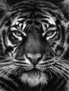 SO SCHÖN Best Picture For animal facts amazing For Your Taste You are looking for something, Tiger Drawing, Tiger Painting, Tiger Art, Tiger Face Tattoo, Tiger Tattoo Sleeve, Tigergesicht Tattoo, Tiger Fotografie, Tiger Tattoodesign, Regard Animal
