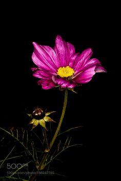 daisy by pinarelloherbert. @go4fotos