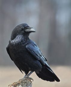 """The Common Raven - Corvus corax, is found across the Northern Hemisphere, it is the most widely distributed of all corvids. Photo by 35photo. """""""