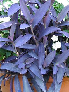Zone Purple Heart, herbaceous perennial, and related to Wandering Jew. The flowers of purple heart are pretty in their own right, but it's the rich purple foliage that really steals the show. Purple Heart Plant, Purple Plants, Sun Plants, Tropical Plants, Hardy Plants, Foliage Plants, Potted Plants, Purple Flowers, Landscaping Plants