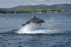 """Fungi"" the celebrated Dingle Dolphin"