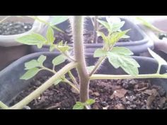 Como podar tomateiros: frutos maiores/How to prune tomato plants: larger fruits - YouTube
