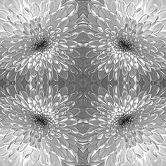 #weisse #Chrysantheme #Blumen #Schnittblume #Symmetrie und #Wiederholung führt zu #starken #Mustern
