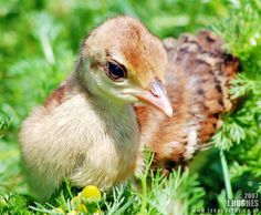 Breeding, Hatching and Raising Peafowl    Just like chickens and other poultry, peafowl are...