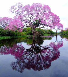 The Pristine Piuva Tree Of Brazil brazil, tree, color, pink, big island hawaii, beauty, cherries, place, cherry blossoms