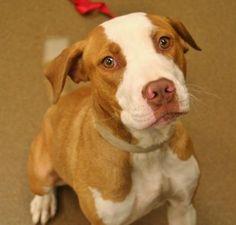 7 / 29 - Petango.com – Meet Meg, a 1 year Terrier, American Pit Bull / Mix available for adoption in WICHITA, KS Address  3313 N Hillside, WICHITA, KS, 67219  Phone  (316) 524-9196  Website  http://www.kshumane.org  Email  mgray@kshumane.org