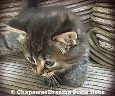 Pixie Bob Kittens, Greatest Mysteries, Domestic Cat, Mystery, Cats, Animals, Gatos, Animales, Animaux