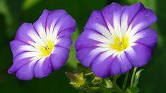 September Birth Flower Morning Glory Tall Purple Flowers, Purple Flower Names, September Birth Flower, Birth Month Flowers, Blue Morning Glory, Morning Glory Flowers, Climbing Flowers, Flowers Today, Flower Meanings