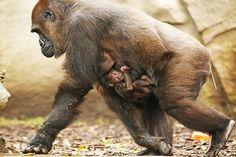 Primate handlers at Sydney, Australia's Taronga Zoo welcomed an addition to the gorilla enclosure with the birth of a western lowland gorilla on May 12. The mother, named Frala, has kept the yet-to-be-named baby close to its chest since birth. It is the seventh gorilla Frala has given birth to, …