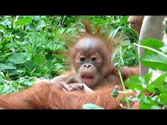 Meet Gelison - A very lazy orangutan - YouTube