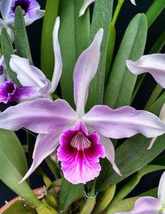 Laelia purpurata v. Rosea
