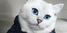 coby the cat il gatto dagli occhi blu ha quasi 300mila seguaci su instagram