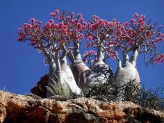 Strange plants of Socotra Island :There is also the Desert Rose (adenium obesium) which looks like nothing so much as a blooming elephant leg