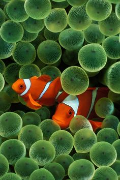 Clown Fish in bubble coral *** These were my favorite salt water fish.....I miss my tank : (                                                                                                                                                                                 More