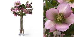 Helleborus queens Pink