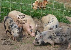 Pg. 2 Adult Mini Pigs - Juliana & Micro Mini Pigs at Ahrens Hobby Farm