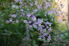 Thalictrum  aquilegifolium – akeleiruit, bloeit mei – juni lila, word plm. 1 m. Is een waardplant voor vlinders, kan op veengrond en normale gronden houd van zon of halfschaduw.