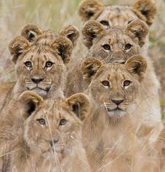 Africa | Family of lions looking very alert.  Pilanesberg, South Africa | ©Riaan van den Berg
