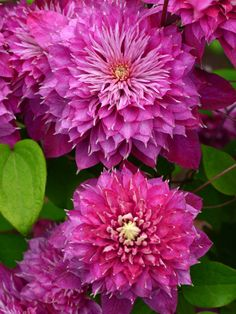 Clematis Kaiser – Famous Last Words Climbing Clematis, Clematis Plants, Clematis Flower, Clematis Vine, Climbing Vines, Garden Plants, Amazing Flowers, Pink Flowers, Beautiful Flowers