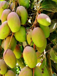 Mango tree - memories of coming across an entire field of mango trees in Kaui.