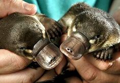 When the first platypus was discovered in the 18th century, scientists were sure that this strange creature was just a clever hoax perpetrated by a bored, yet talented, taxidermist. Test your knowledge of the platypus with this quiz!