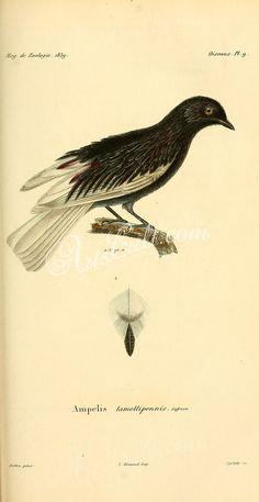 White-tailed Cotinga      ...