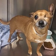 Oak Ridge, New Jersey - Chihuahua. Meet Alyssa, a for adoption. https://www.adoptapet.com/pet/21026273-oak-ridge-new-jersey-chihuahua-mix