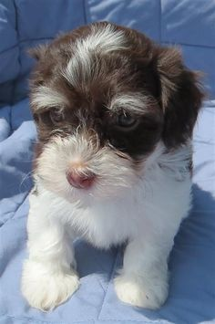 "Havanese AKC Puppies ""Chocolates"""