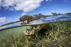 A crocodile swims through protected Cuban waters in this National Geographic Your Shot Photo of the Day.