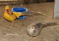 Pheasants - - Yahoo Image Search Results