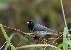 papa capim de costas cinzas_sporophila ardesiaca Brazilian Birds: Thraupidae (parte 5 coleiros e caboclinhos)
