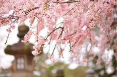 cherry blossoms & lantern
