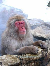 snow monkey in hot springs water