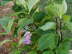 Hydrangea macrophylla Nigra : yep! I have these :)