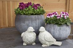 #Franse #Geranium #Edelgeranie #Regal #Pelargonium #Grandiflorum #garden #plants #flowers
