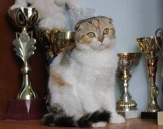 For sale! female SFS f 22 03 Fluffy cats` Vanessa 5 months http://fluffy-cats.ru/