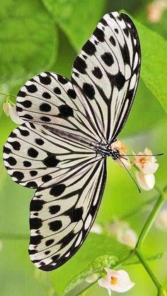 Fotografia de mariposa colores blanco y negro [15-6-17]