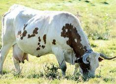 Le retour de la Ferrandaise Adaptée à la production mixte de viande et de lait, la ferrandaise est une race bovine originaire du Puy-de-Dôme qui comptait jusqu'à 200 000 têtes dans les années 1950... Country Charm, French Country, Rhone, Cows, I Fall, Agriculture, Rustic, Animals, Alps