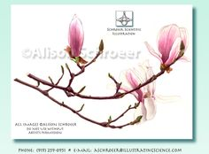 Watercolor and colored pencil drawing of a magnolia soulangeana, by Alison Schroeer Magnolia Soulangeana, Japanese Magnolia, Magnolia Tattoo, Silk Floral Arrangements, Japanese Flowers, Wedding Tattoos, Magnolia Flower, Botanical Illustration, Silk Flowers