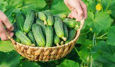 Ha megfogadod az idősek tanácsát, sokkal bőségesebb lesz az uborkatermésed ebben az évben! Organic Gardening, Gardening Tips, Cactus Plants, Animals And Pets, Cucumber, Beautiful Flowers, Vegetables, Drawing, Life