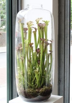 Sarracenia - Pitcher Plants