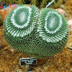 Free Shipping Multifarious Ornamental Plants 100  Cactus Seeds attractive impressive