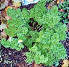 Growing parsley requires full sun to partial shade along with light, well-drained soil. Learn how to grow parsley successfully the organic way. Herb Garden, Garden Pots, Edible Garden, Biennial Plants, Medicinal Herbs, Vitamins And Minerals, Pest Control, Compost, Pet Care