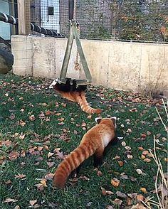 Red Panda Sneak Attack http://ift.tt/2dLvNQt