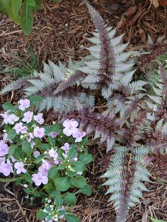 Fern Japanese Painted Fern Regal Red  (Athyrium niponicum). For shade by maple or next to house. $9.78 ea.