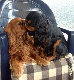 A ruby and a black and tan King Charles Cavalier Spaniels in love                                                                                                                                                      More