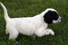 "White & Black puppy, ""Bella"" out of Jenna by Steele"