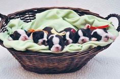 Discover Bright Boston Terrier Puppies And Kids Baby Boston Terriers, Boston Terrier Temperament, Brindle Boston Terrier, Boston Terrier Love, English Terrier, Puppy Mix, Newborn Puppies, Terrier Breeds, Terrier Dogs